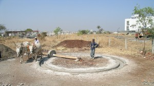 A pair of bullocks pulls the 1-ton stone that pulverizes the lime